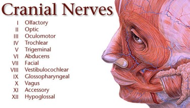 twelve zodiacal nerves