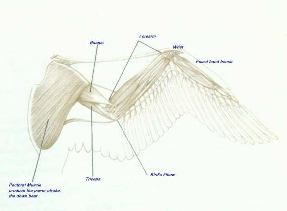 Bird wing structure shoulder blade and arm