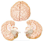 Aggies lung and brain functions